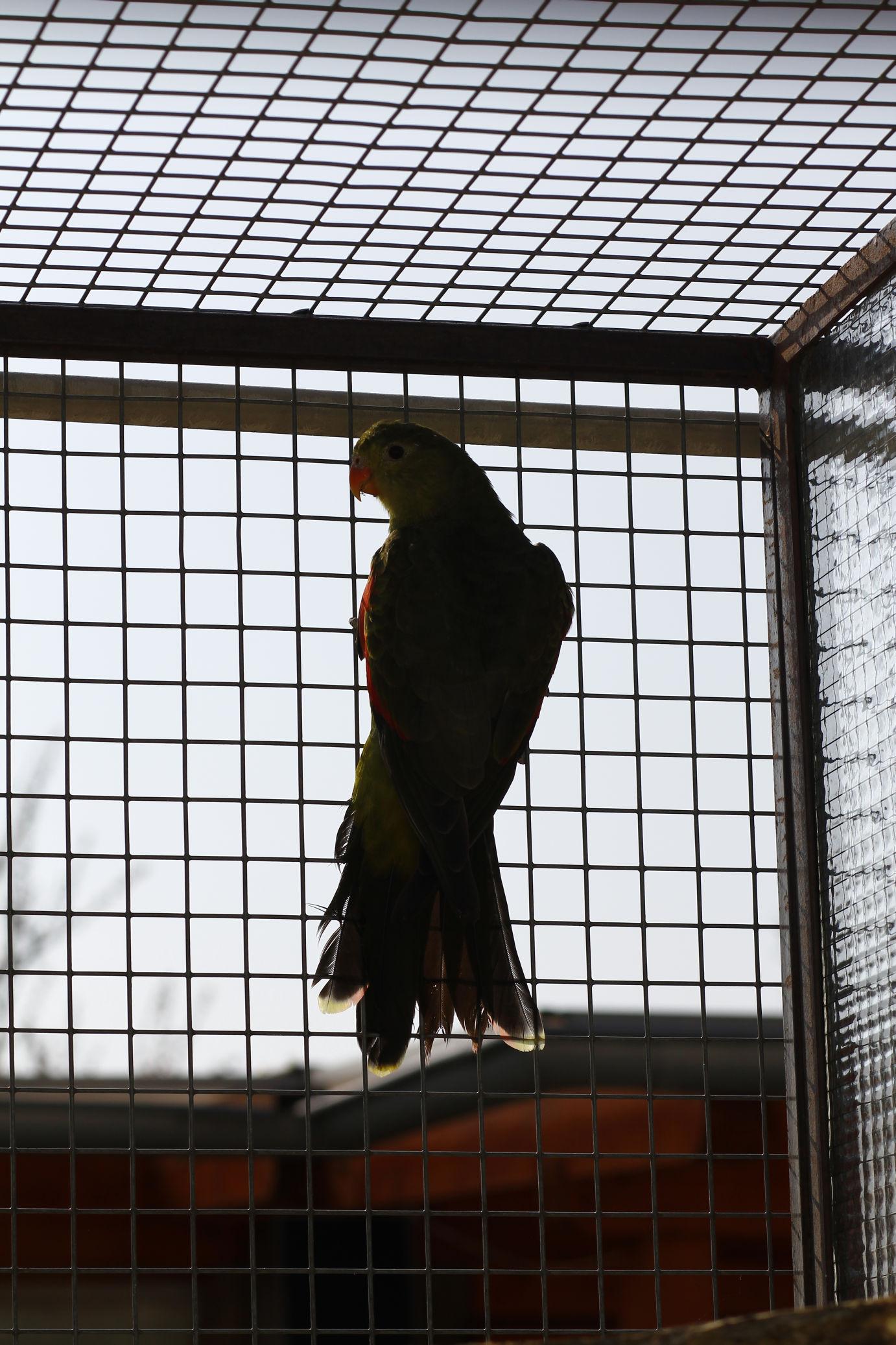 papousek_cervenokridly_001.jpg