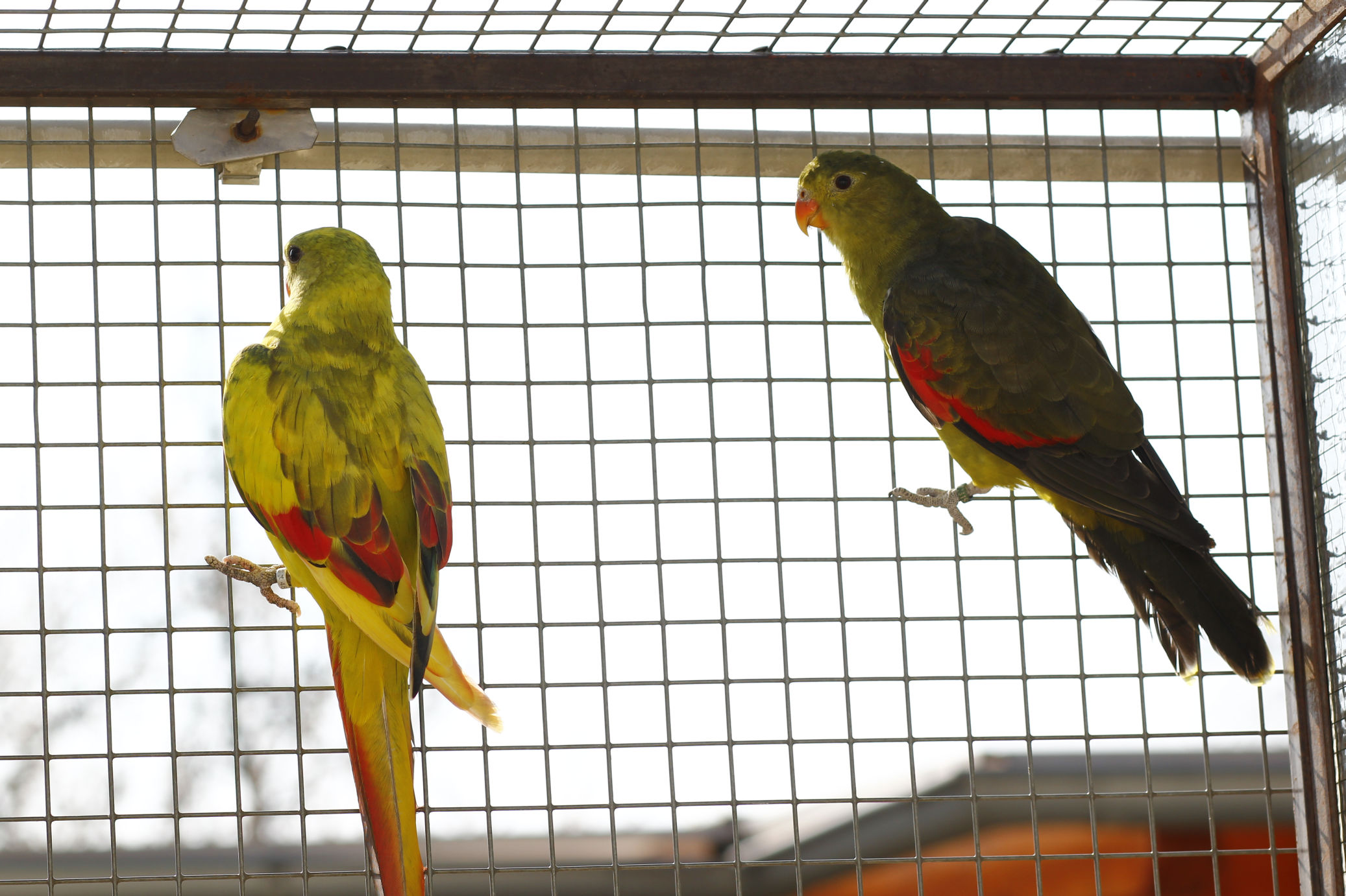 papousek_cervenokridly_003.jpg