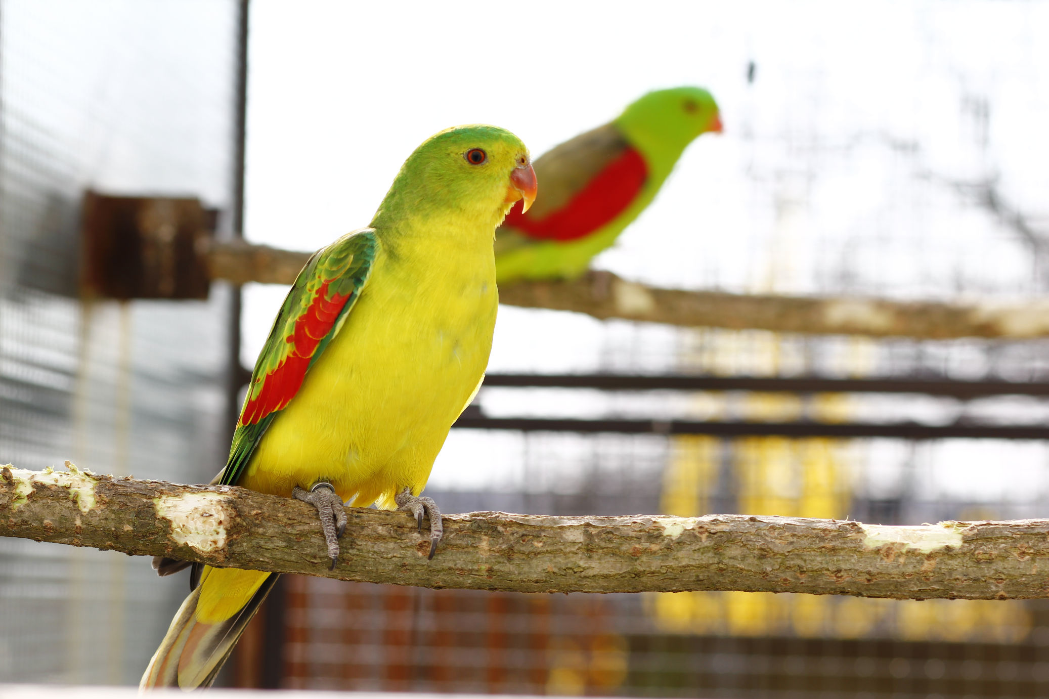 papousek_cervenokridly_007.jpg