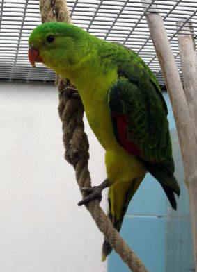 papousek_cervenokridly_025.jpg