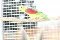 papousek_cervenokridly_015.jpg